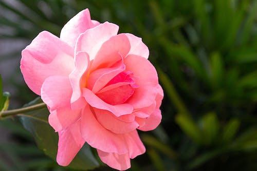 Foto profissional grátis de beleza, beleza na natureza, cor-de-rosa, despertar