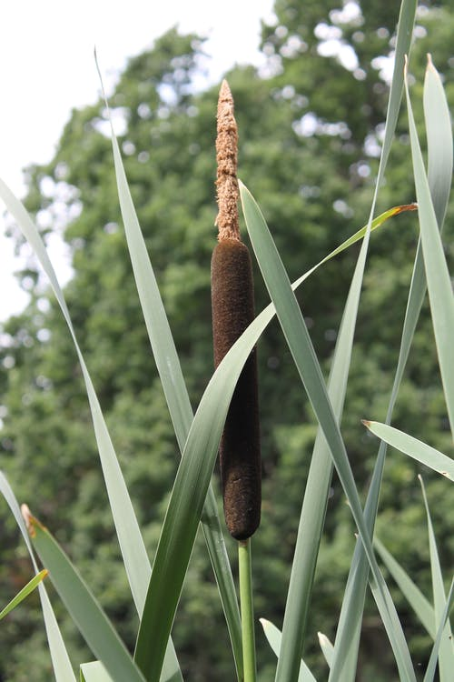 Free stock photo of bullrush, green, reeds, water plant