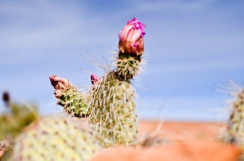 คลังภาพถ่ายฟรี ของ ซักคิวเลนต์, ดอกไม้, ต้นกระบองเพชร, ทะเลทราย