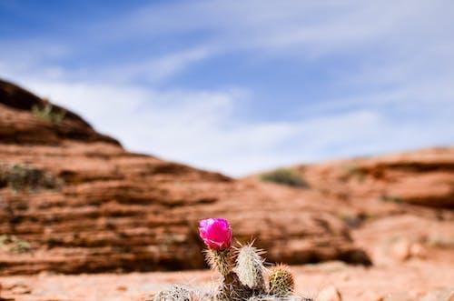 Základová fotografie zdarma na téma kaktus, kytka, skalní útvar, sukulent