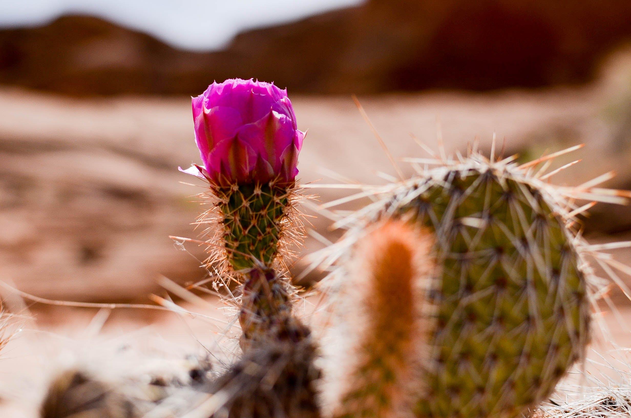 Free stock photo of cactus, flower, succulent