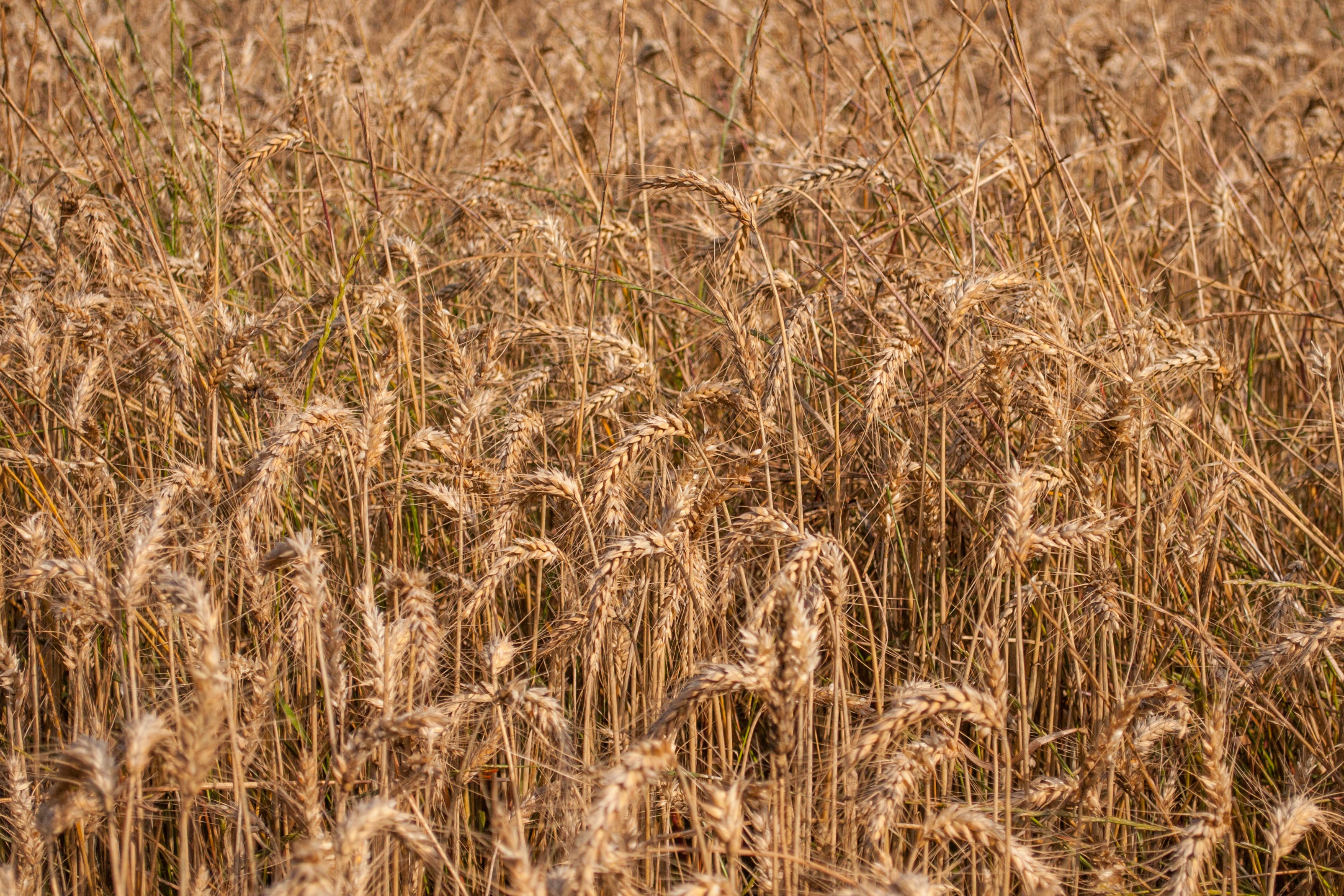 Free stock photo of field, dry, countryside, agriculture