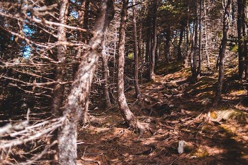 Photos gratuites de à feuilles persistantes, aboiement, âgé