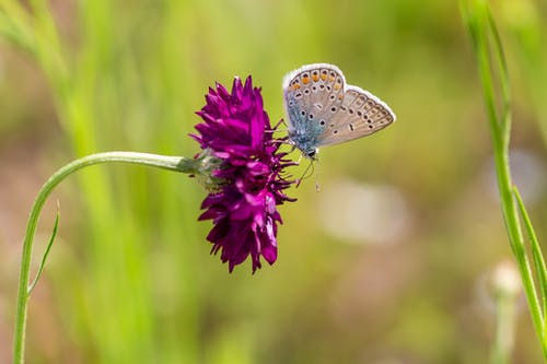 Polyommatus icarus butterfly sitting on purple flower in garden