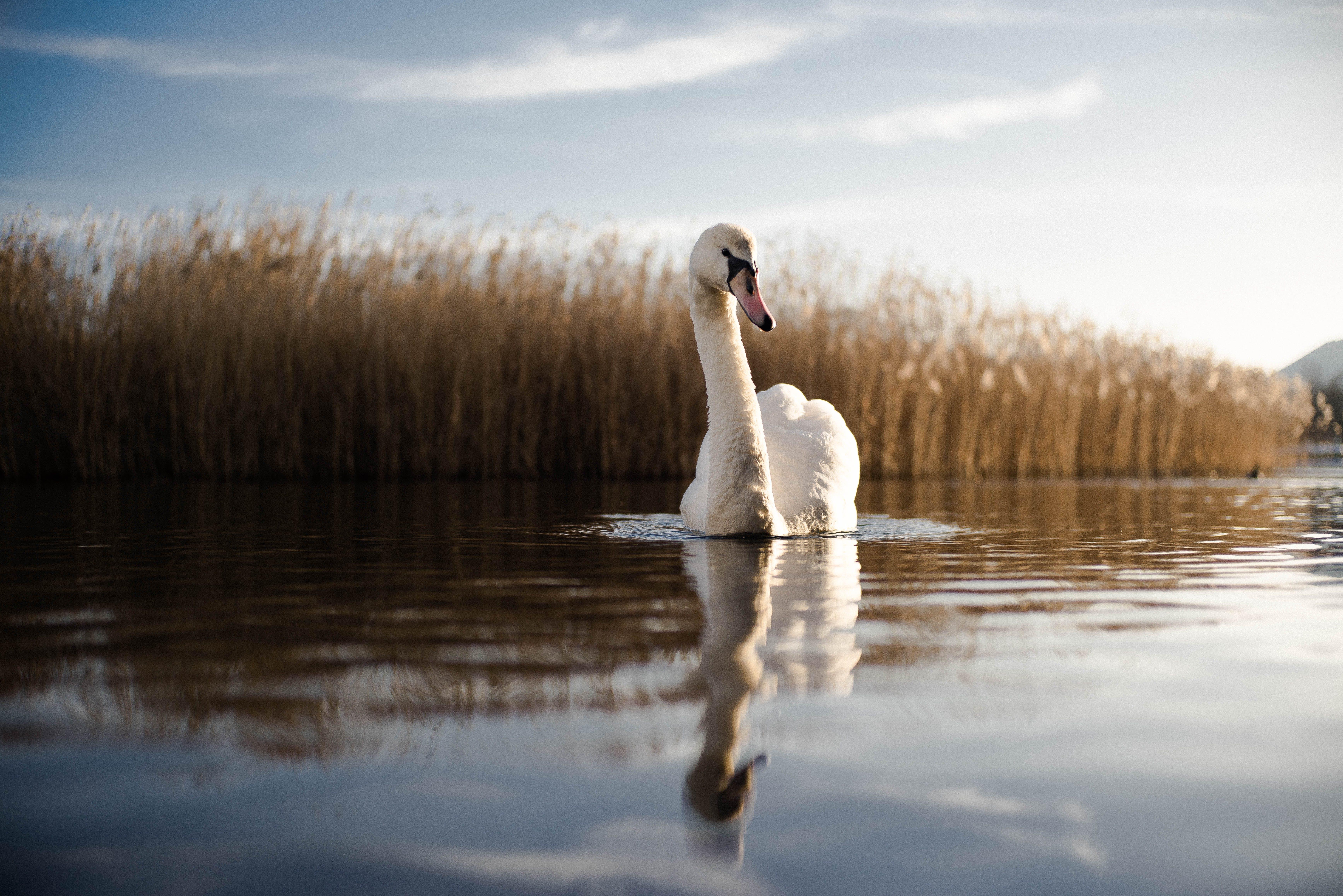 Foto d'estoc gratuïta de aigua, alba, animal, blanc