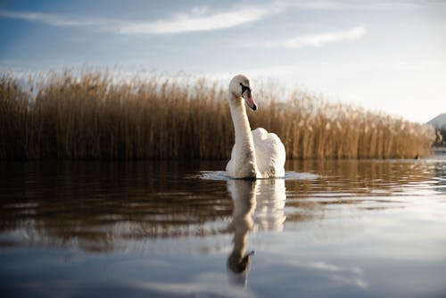 Swan in River Near Grass