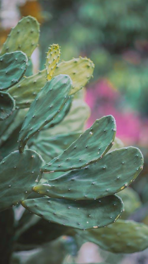 Thorny Opuntia ficus indica cacti in greenhouse