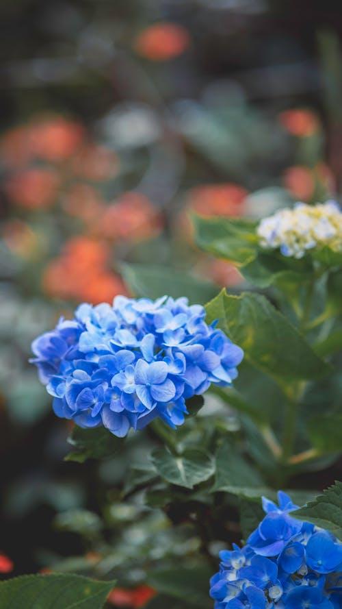 Gentle Hydrangea macrophylla flowering plants blooming in park