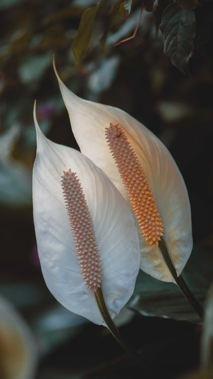 Closeup of exotic white peace lily evergreen herbaceous perennial flowers growing in rainforest