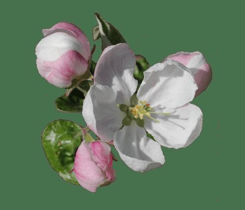 Free stock photo of apple blossom, blossom, blossoming