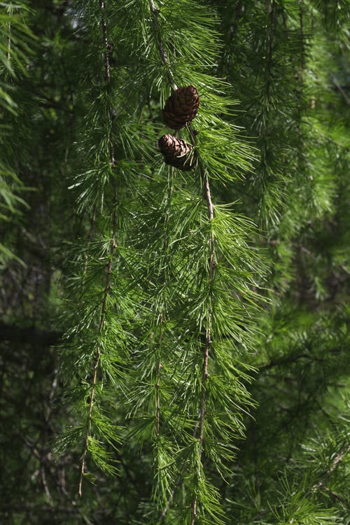 Free stock photo of branch, cone, conifer