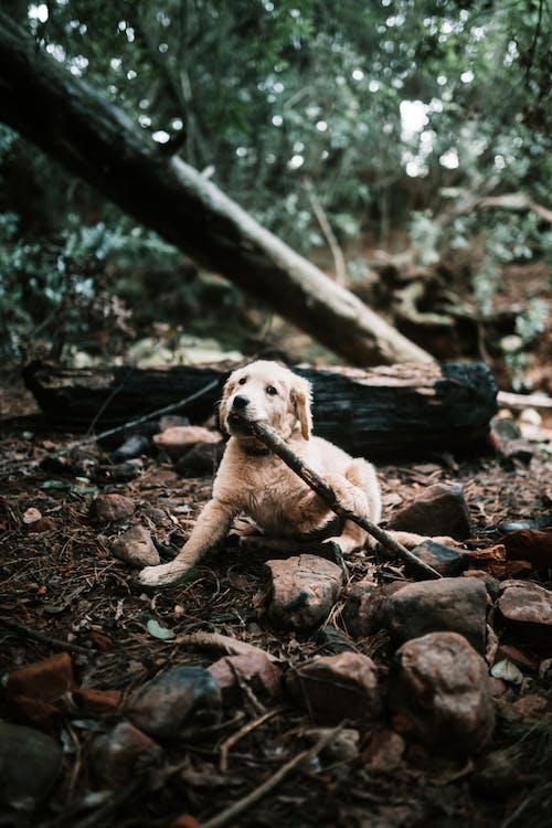 Fotobanka sbezplatnými fotkami na tému fotografie šteniat, labrador, labrador-retriever