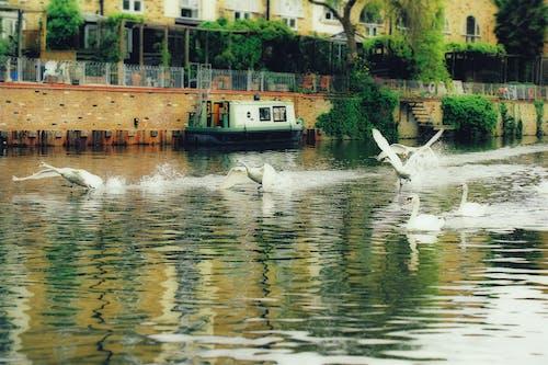 강, 그레이트 리버, 백조, 비행의 무료 스톡 사진