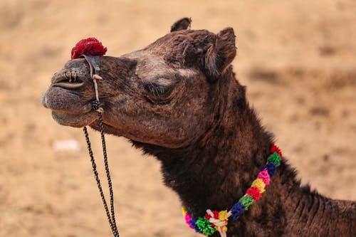 Camel with colorful neck decoration on sandy terrain