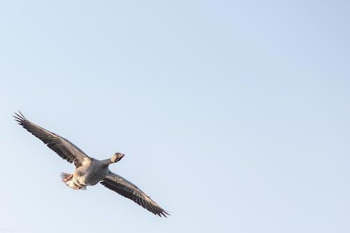 Free stock photo of goose