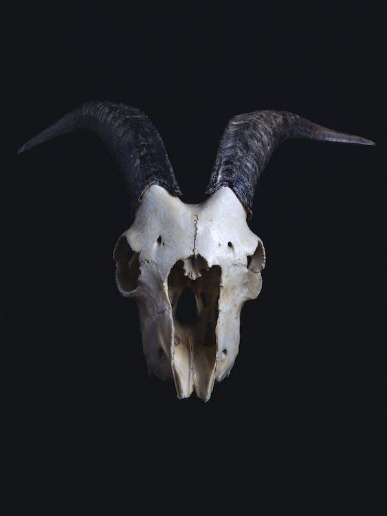 White and Black Animal Skull