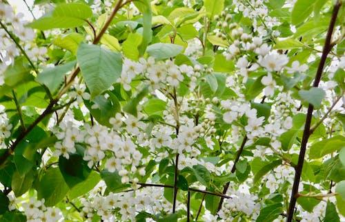 Darmowe zdjęcie z galerii z białe kwiaty na małym drzewie