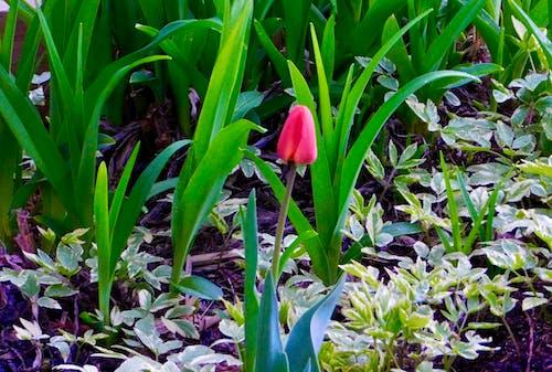 Darmowe zdjęcie z galerii z tulipan z daleka