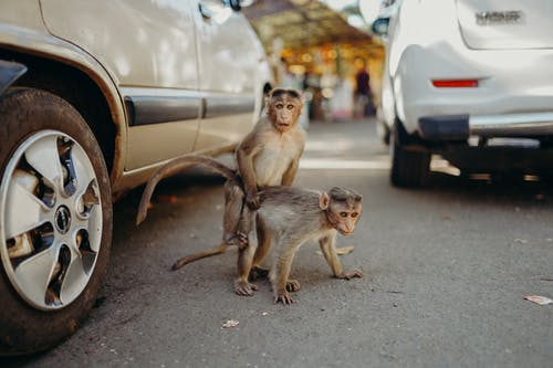 Brown Monkeys Near Parked Cars