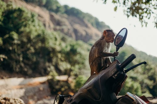 Brown Monkey on Black Motorcycle