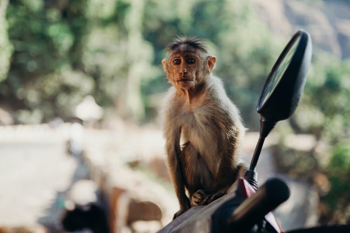 Brown Monkey Sitting on Black Motorcycle