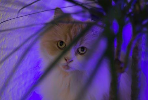 ネコ, ペット, ペルシャ語, 動物の無料の写真素材