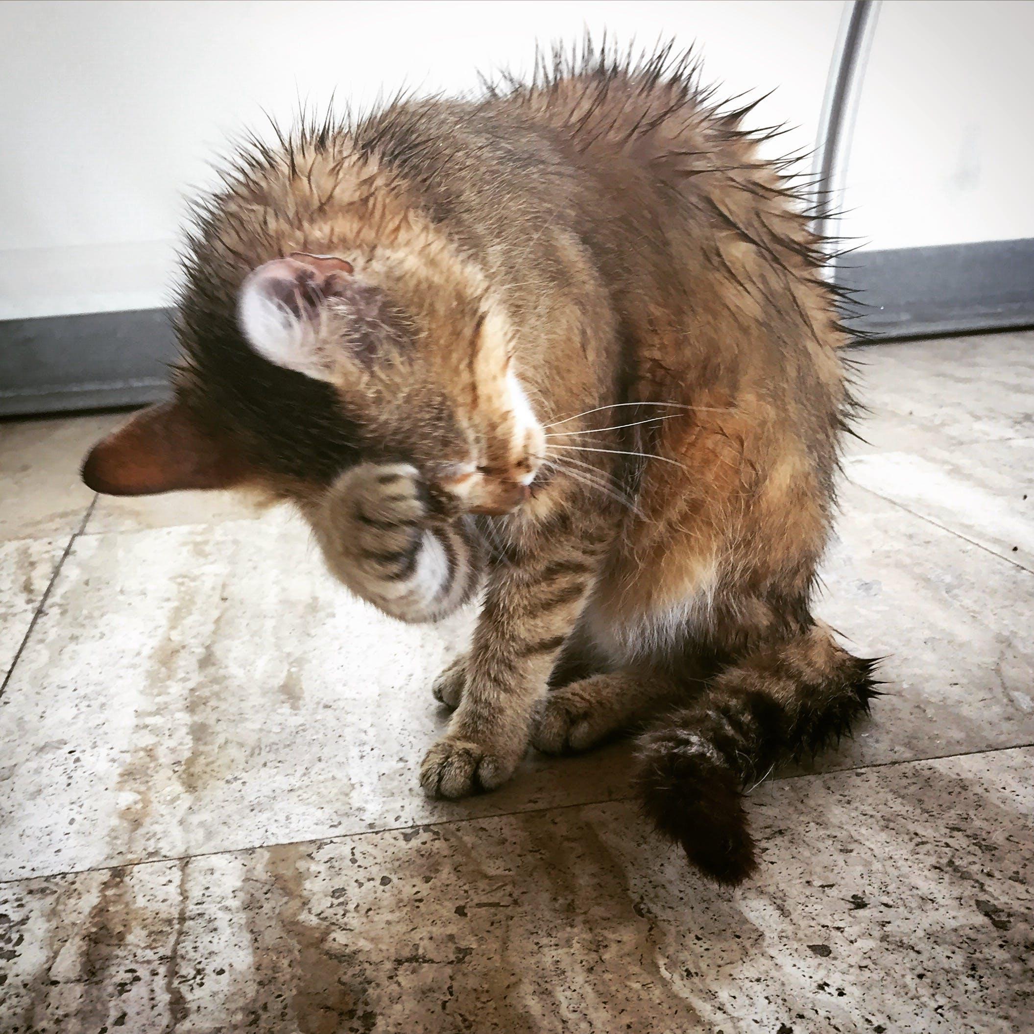 Free stock photo of rain, wet, cat, wet cat