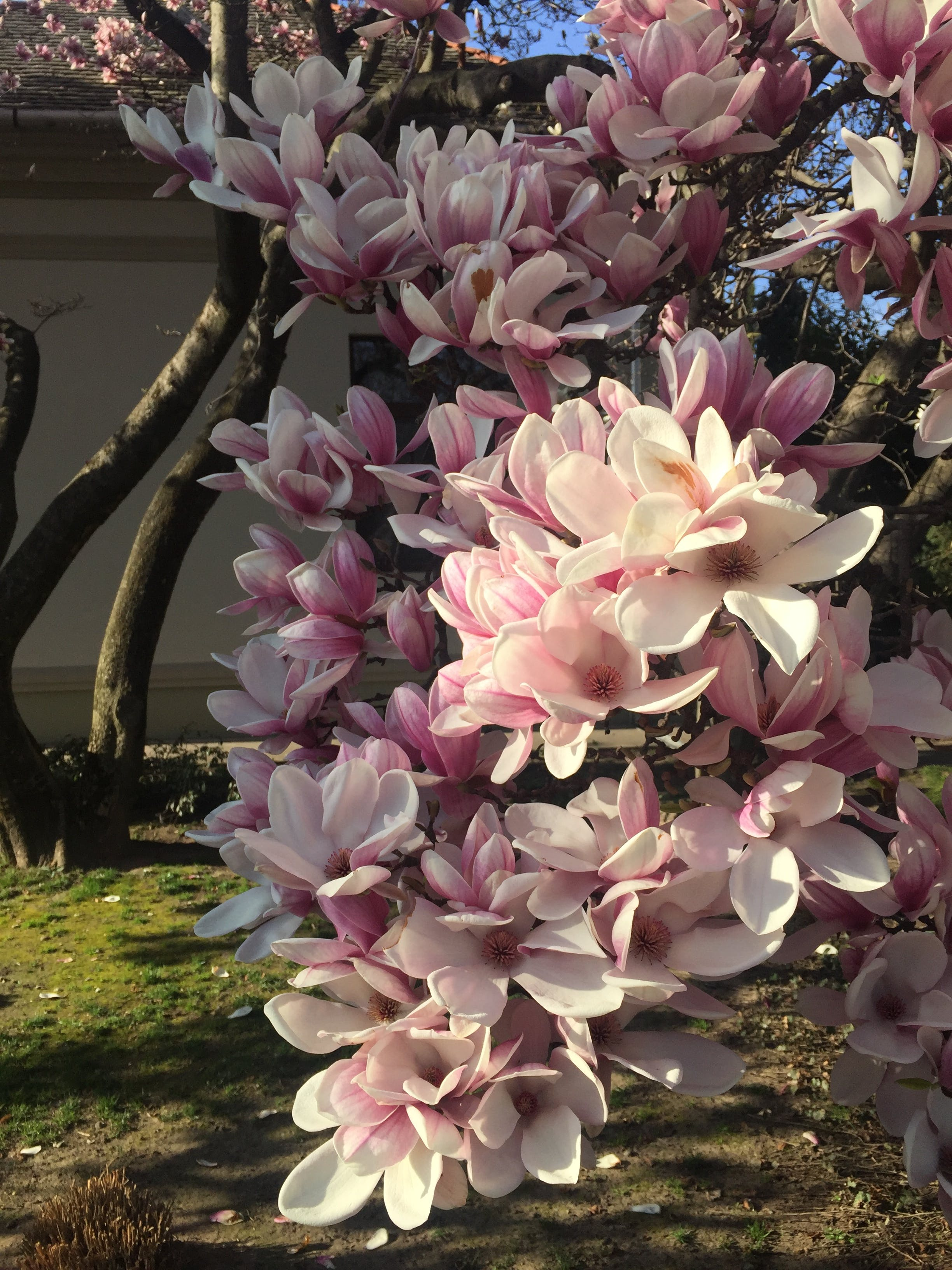 Free stock photo of spring, flower, pink, magnolia
