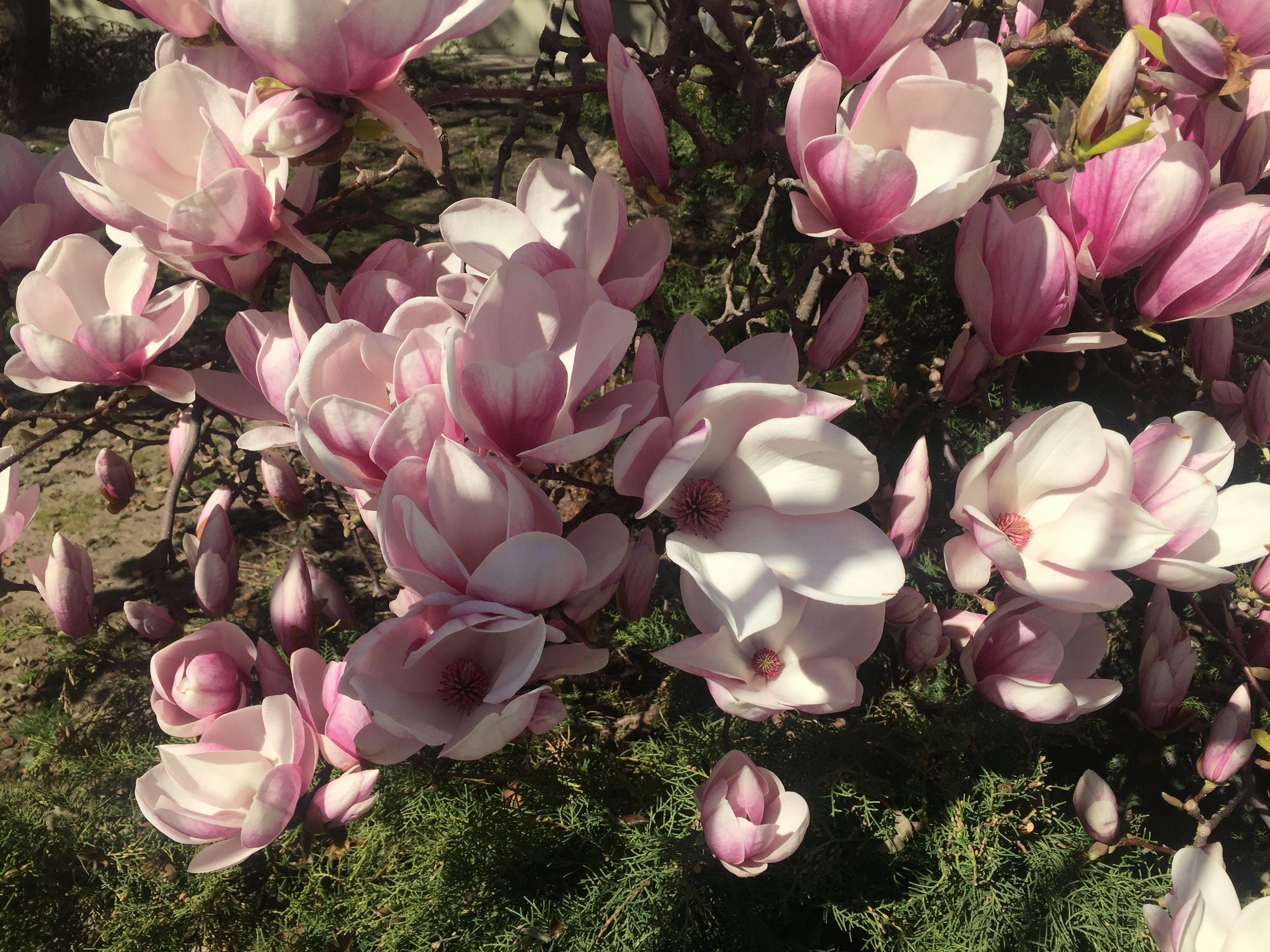 Free stock photo of spring, flower, magnolia, magnolia tree