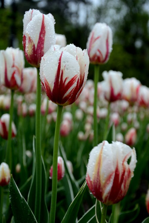 White Tulips in Bloom