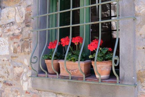 Fotos de stock gratuitas de escaparate, geranios, geranios rojos, Italia