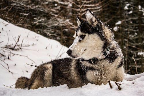 Fotos de stock gratuitas de husky, invierno, nevar