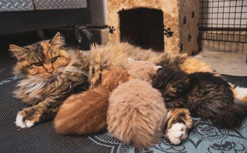 Fluffy cat feeding kittens on carpet in flat