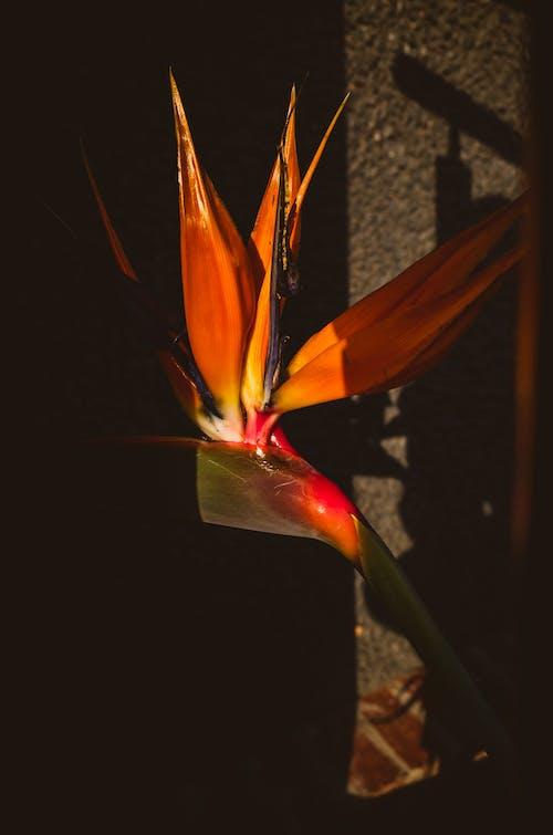 Free stock photo of bird of paradise, flower, orange