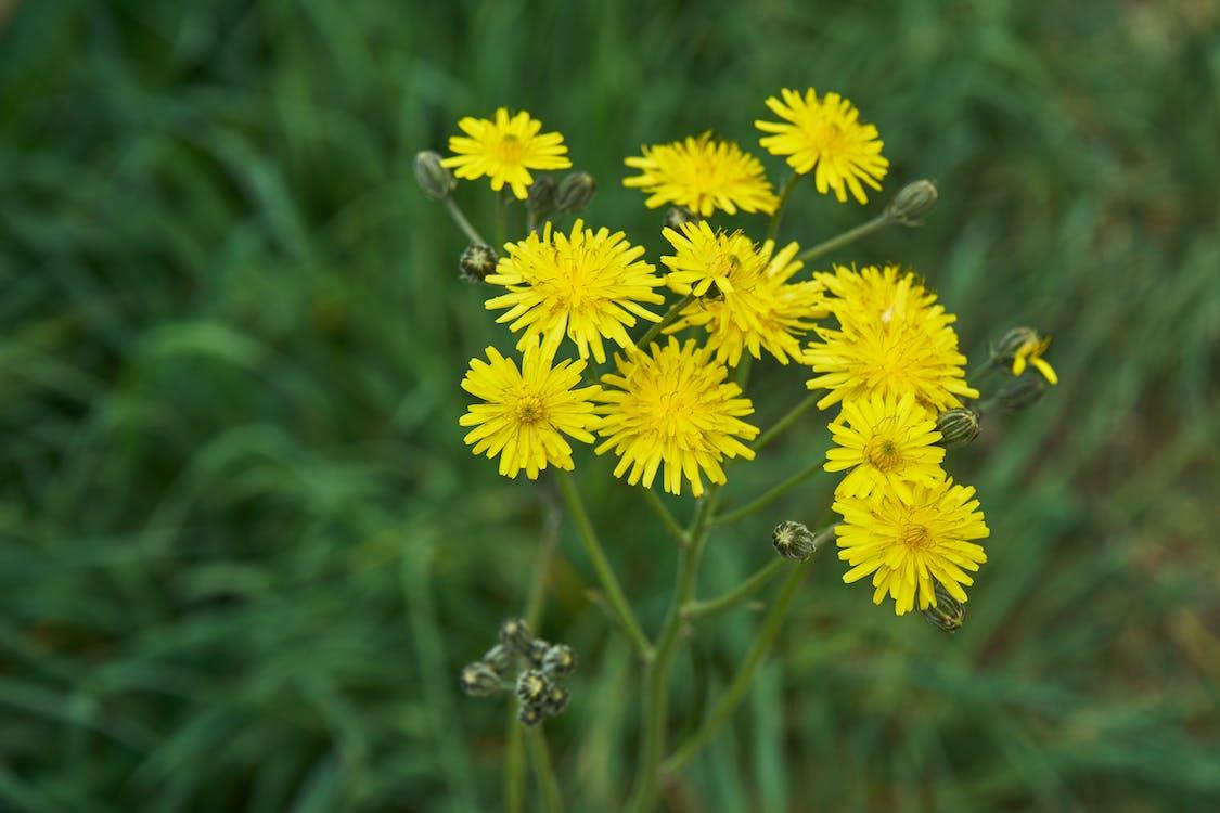 Free stock photo of botanique, champs, Fleurs jaunes
