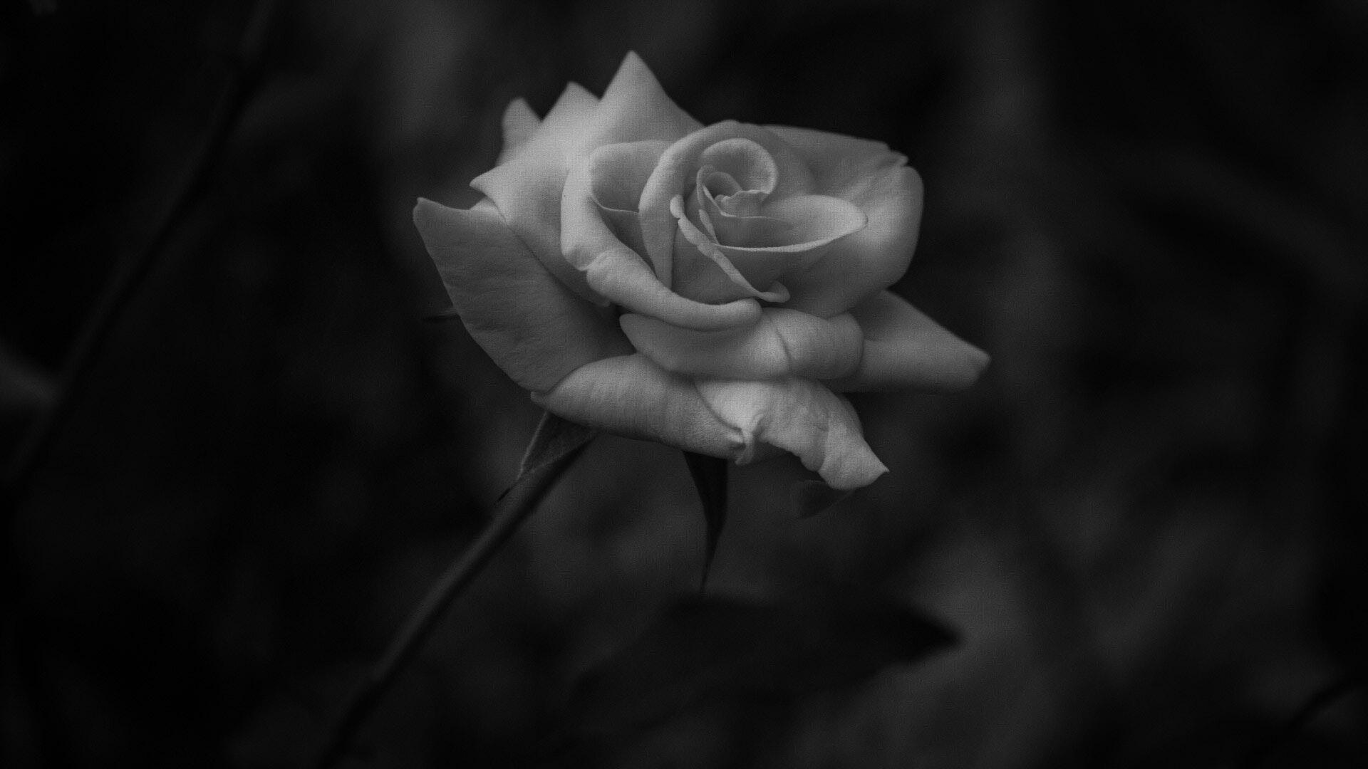 Free stock photo of beautiful flowers beauty dark free download izmirmasajfo