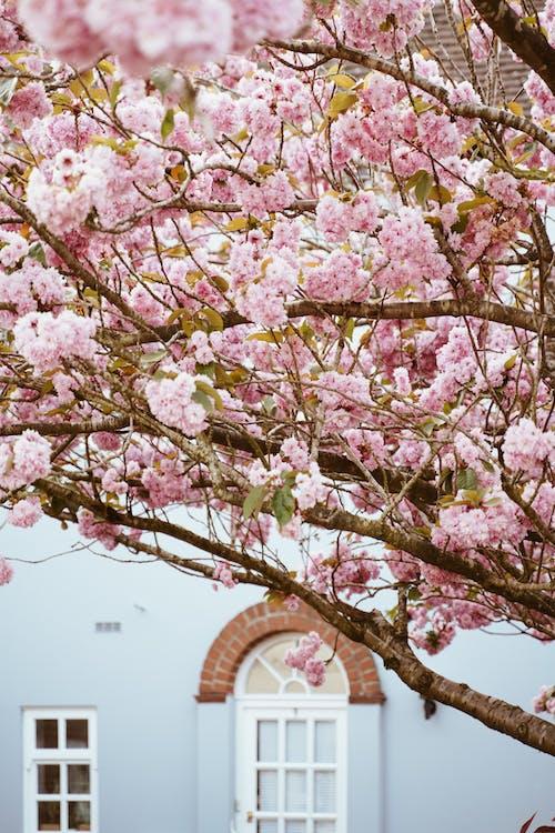 Blooming sakura near old building on street