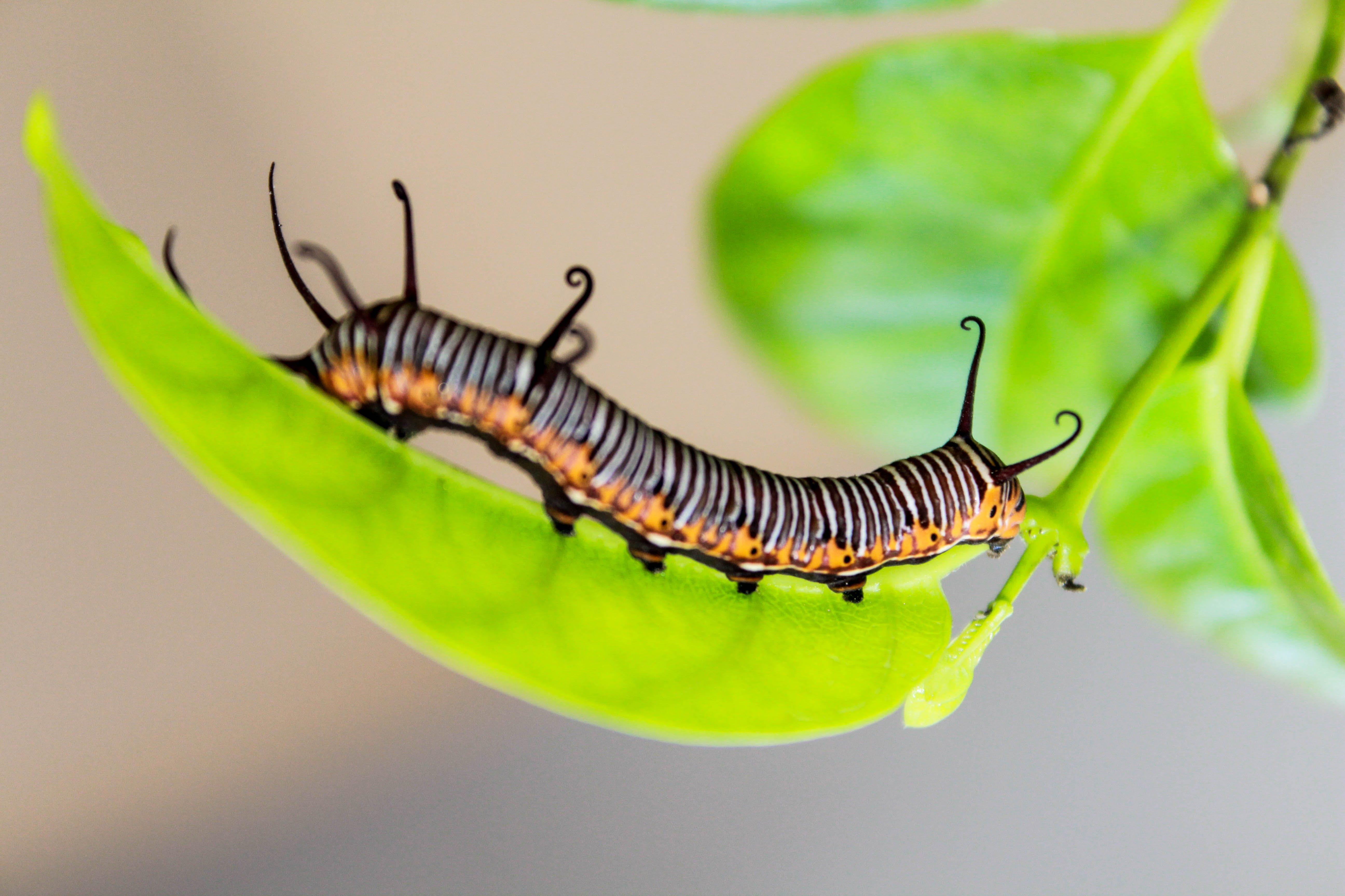 Black and White Caterpillar on Green Leaf