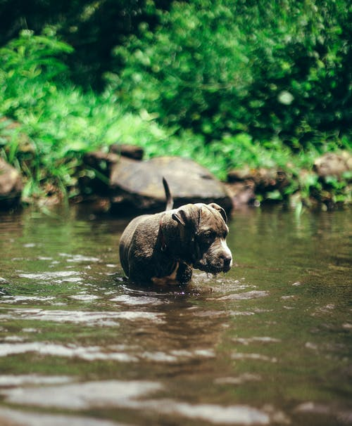 Brown Short Coated Dog on Water