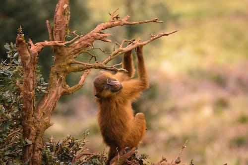 Gratis stockfoto met aanbiddelijk, aap, beest