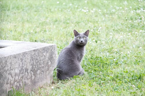 Free stock photo of animal, assis, chartreux, chat