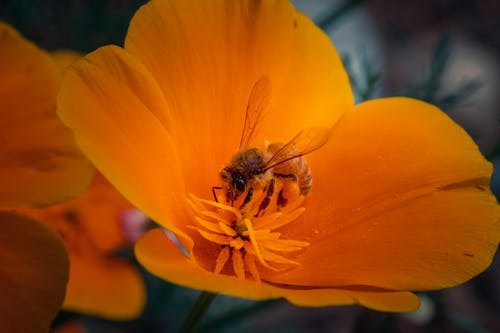Free stock photo of bee, flower, poppy