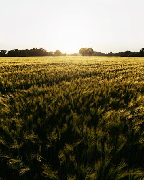 Бесплатное стоковое фото с за городом, закат, зерновые, злак