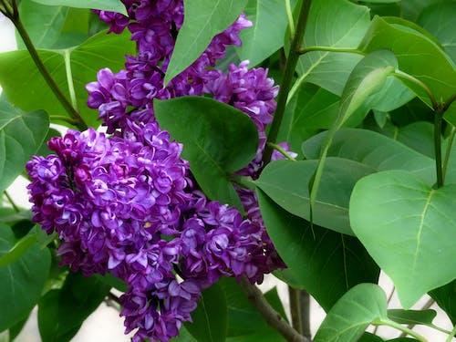 Foto profissional grátis de lilás, natureza, roxo
