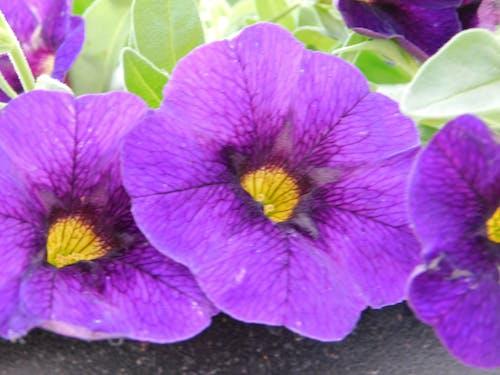 Darmowe zdjęcie z galerii z fioletowe petunie