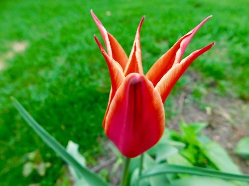 Darmowe zdjęcie z galerii z tulipan gwiazdkowy