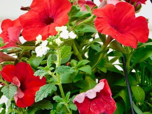 Darmowe zdjęcie z galerii z kolorowe kwiaty