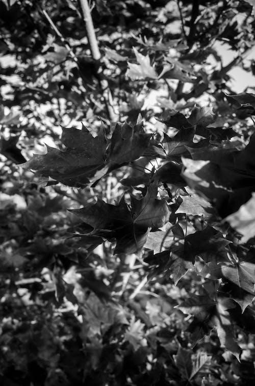 Free stock photo of autumn, black and white, fall, leaf