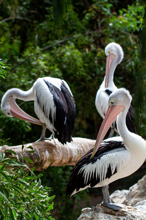 Side view flock of cute Australian pelicans standing on tree branches in lush green forest on sunny day