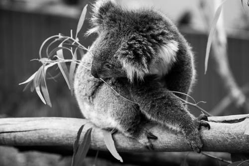 Monochrome Photo of Koala Bear